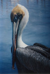 Brown Pelican I